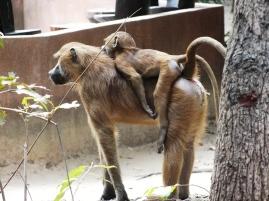 Makasutu bavianen familie