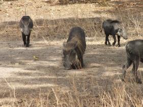 Fathala Park Senegal Everzwijnen