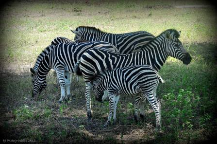 Fathalapark Senegal zebras
