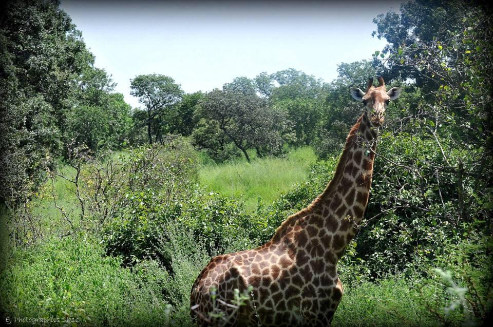 Fathalapark giraffe
