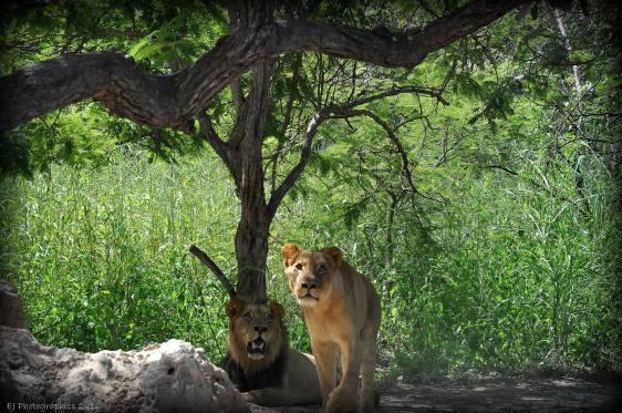 Fathalapark Senegal wandelen met leeuwen