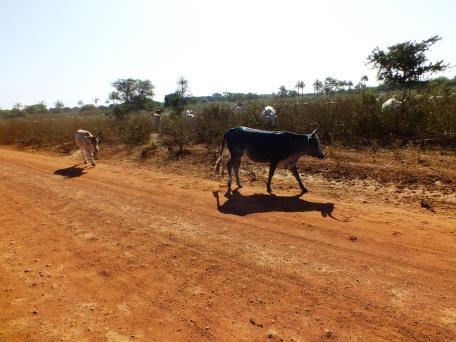Binnenland van Gambia waar koeien los op de weg lopen