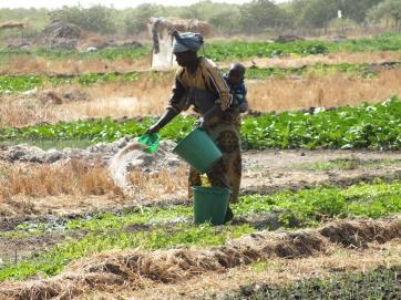 Vrouwen bewerken en onderhouden de groentetuin door water te sproeien