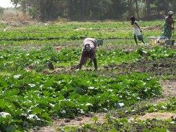 Groentetuin in Gambia