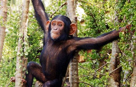 CHIMPANSEES in Gambia