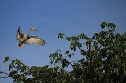 pelikaan in Gambia
